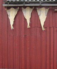 Klippfisch an einem norwegischen Haus - Klippfisch, Norwegen, Konservierung, Pökeln, Lebensmittel, Haltbarmachung, salzen, trocknen, Trocknung, Entwässern, Trockenfisch