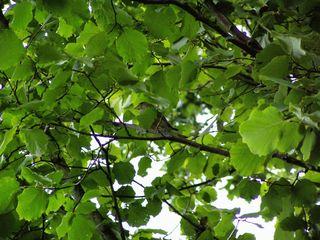 Grünfink im Hasel - Haselstrauch, Grünfink, Naturbetrachtung, grün, Vögel