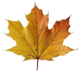 Ahornblatt - Blatt, Ahorn, Spitzahorn, Blatt, Laub, gelb, orange, Herbst, handförmig, fünflappig, fünf, spitz, Symbolpflanze, Herbstfarbe, gelb