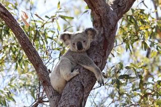 Koala - Koala, Beuteltier, Australien, Symboltier, gefährdete Art