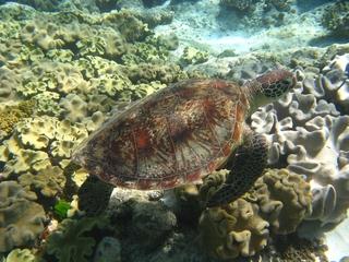 Green Turtle, Grüne Meeresschildkröte - Australien, Barrier Reef, Meeresschildkröte, Schildkröte