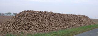 Rübenmiete - Rübe, Zucker, Zuckerrübe, Miete, Beta vulgaris, Fuchsschwanzgewächs, Ernte, Nutzpflanze, Agrarwirtschaft