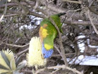 Rainbow Lorikeet bei der Nahrungsaufnahme: Nektar und Blütenstaub - papgeienartige Vögel, Australien, Blütennahrung, Nahrungsaufnahme
