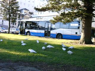 Gelbhaubenkakadus vor Bushaltestelle am Hafen von Manly (Sydney) - Vögel, Australien, Kakadu, Gelbhaubenkakadus