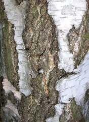 Rinde einer Birke - Birke, Baum, Laubbaum, Gehölz, Natur, Rinde, Borke, Stamm, Struktur