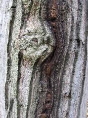 Rinde eines Walnussbaumes #2 - Walnuss, Walnussbaum, Stamm, Borke, Rinde, Struktur, Muster, Holz, Laubbaum, Natur, Gehölz