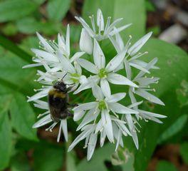 Bärlauchblüten - Bärlauch, Lilienähnliche, Zwiebelgewächse, Heilpflanze, Gewürzpflanze, weiße Blüten, Knoblauchgeruch, Pesto, Gewürz