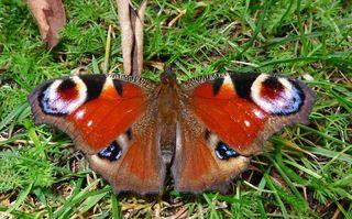Pfauenauge - Biologie, Pflanzen, Blüten, Schmetterling, Pfauenauge, Rüssel, saugen, blau, bunt, Insekt, Symmetrie