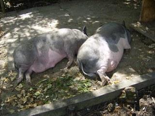 Hängebauchschweine #1 - Schwein, Schlaf, Sonne, Mittag, Ruhe, Haustier, dick, Hängebauchschwein, Borsten, dunkel, faul, schlafen, Suhle, zwei, Gehege
