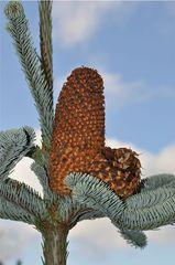 Tannenzapfen - Tanne, Nadelbaum, Nadeln, abgerundet, kurz, stumpf, Zweig, Baum, Trieb, Austrieb, Edeltanne
