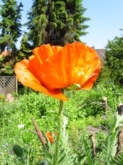 Mohnblume II - Mohn, Blüte, Gartenblume, rot, orange, Blume