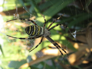 Wespenspinne - Spinne, Spinnentiere, Zebraspinne, Seidenbandspinne, Argiope bruennichi