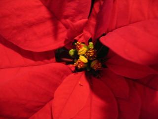 Weihnachtsstern #2 - Weihnachtsstern, Adventsstern, Christstern, Poinsettie, Wolfsmilchgewächs, Hochblätter, Cyathien