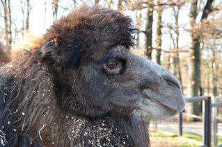 Kamel - Kamel, Kopf, Winterfell, Säugetier, Paarhufer, Dromedar, Wüste, Zoo, spucken