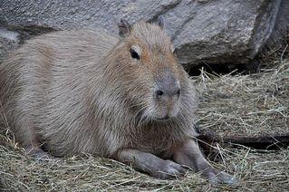 Wasserschwein - Wasserschwein, Capybara, Nager, Nagetier, Meerschwein, Stachelschwein, Verwandte, schwimmen, Säugetier