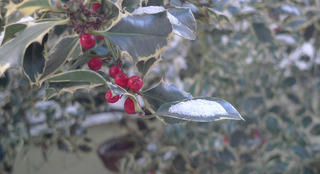 Ilex - Blatt und Fruchtstand mit Schnee - Ilex, Fruchtstand, Schnee, Winterimpression, Grußkarte