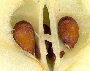 Halber Apfel - Apfel, Frucht, Makro, Kerngehäuse, Samen, Samenkern, Kern, Apfelkern