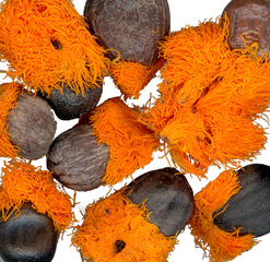 Samen der Paradiesvogelblume - Samen, Blume, Makro, Paradiesvogelblume, Strelitzie, Strelitzia reginae, Königs-Strelitzie, Königin-Strelitzie