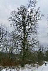 Eiche - Laubbaum, Winter, wachsen, kahl, Stamm, Äste, verzweigt, Silhouette, Baum, Eiche