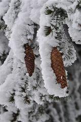 Gefrorene Zapfen - Winter, Frost, Eis, Raureif, Reif, frieren, eisig, kalt, Schnee, Schneebruch, Fichte, Nadelbaum, Zapfen