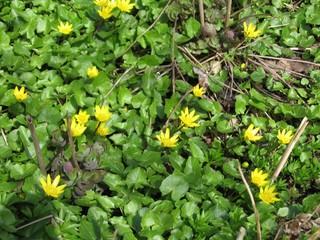 Scharbockskraut - Scharbockskraut, Frühblüher, Frühling, Ranunculus ficaria, Wurzelknollen
