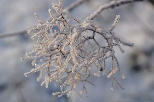 Eisige Perücke - Winter, Frost, Eis, Raureif, Reif, frieren, eisig, kalt, Perückenstrauch