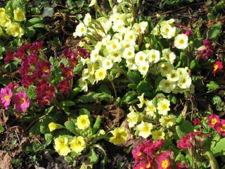 Primel - Primel, Schlüsselblume, Primula vulgaris, Hybrid, Frühblüher, Frühling, bunt