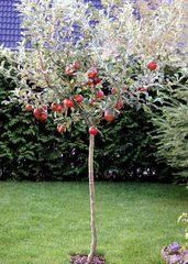 Kleiner Apfelbaum - Garten, Herbst, Apfelbaum, Äpfel, Wiese, Apfel