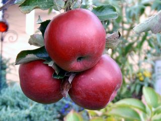 Rote Äpfel - Garten, Herbst, Baum, Obst, Äpfel, Apfel, Apfelbaum