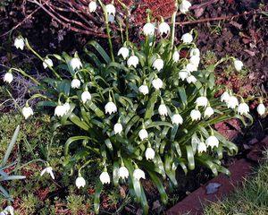 Märzenbecher im Garten - Frühling, Garten, Märzenbecher, Frühblüher, weiß, Vorfrühling, Frühlingsknotenblumen, Blume