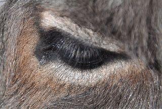 Esel #3 - Esel, Haustier, Pferd, Unpaarhufer, Schimpfwort, stur, Grautier, Lasttier, Auge