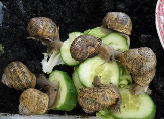 Weinbergschnecken bei der Nahrungsaufnahme - Weinbergschnecke, Nahrungsaufnahme, Schnecke, Weichtiere, langsam, Schneckenhaus, Fühler