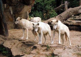 Wölfe - Tiere, Wolf, Wölfe, Freigehege, Canis, Rudel