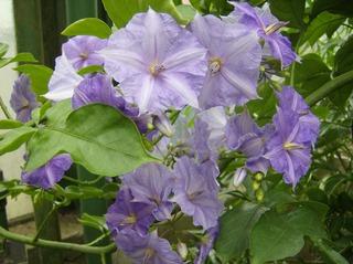 Prunkwinde - Prunkwinde, Prachtwinde, Windengewächs, Kletterpflanze, blau