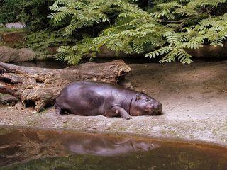 Flusspferdbaby - Tiere, Flusspferd, Tierkinder, Grossflusspferd, Pflanzenfresser, Säugetier, Nilpferd, Jungtier