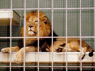 TLöwe - Löwe, Käfig, Fleischfresser, gefährlich, Raubtier, Mähne, Schreibanlass
