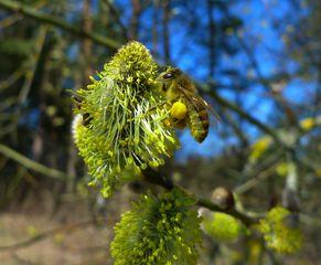 Weidenblüte - männlich #1 - Weidengewächse, Salicaceae, Pollen, Biene