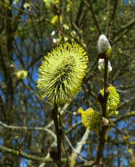 Weidenblüte - männlich #2 - Weidengewächse, Salicaceae, Pollen, Palmkätzchen