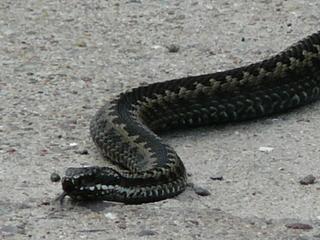 Kreuzotter - Kriechtier, Schlange, Kreuzotter, Giftschlange, Zickzack-Band, Naturschutz