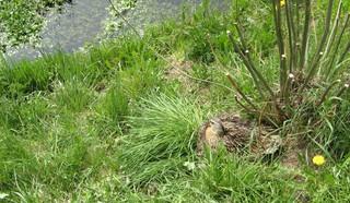 Ente beim Brüten #3 - Ente, Vogel, Brut, brüten, Nest, Eier, Tarnung, Gefieder, braun, Weibchen, Tarnfarbe