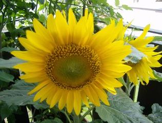 Sonnenblume blühend - Blume, Sonnenblume, Sommer, Korbblütler, Blüte