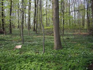Buchenwald im Frühling - Buchenwald, Frühling, Belaubung, Licht Buschwindröschen, Scharbockskraut, Frühblüher, vegetative Vermehrung