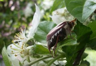 Maikäfer im Apfelbaum - Käfer, Apfelblüte, Insekt, Frühling, Garten