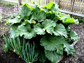 Rhabarber - Rhabarber, Nutzpflanze, Knöterichgewächs, Gemüse-Rhabarber, Krauser Rhabarber