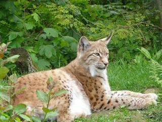 Luchs - Luchs, Raubkatze, Katze, Wald Wildtier, Zoo, Wildpark