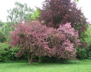 Rotdorn - Rotdorn, Baum, Rot, Rosa