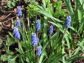 Traubenhyazinthe - Traubenhyazinthe, blau, Frühblüher, Frühling, Zwiebel, Muscari, Perlhyazinthe