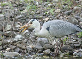 Graureiher #3 - Gefieder, Standvogel, Schreitvogel, grau, Fischreiher, Frosch