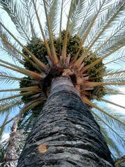 Palme mit Fruchtstand - Palme, Tropen, Stamm, Baum, Palmwedel, Frucht
