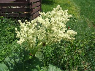 Rhabarberblüte - Rhabarber, Blüte, Knöterichgewächs, Kulturpflanze, mehrjährig, Blütenstand